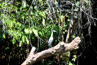 02BH JRR Great Blue Heron 150225-B